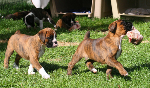 Raw Food Diet For Boxer Dogs